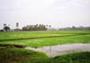 Emerald green paddy fields of Kuttanad.